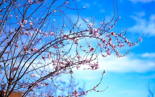 ảnh chụp hoa đào từ Fuji film X-T1
